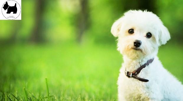 Cutest Dog Breeds, Best Dog, Maltese Dog puppies