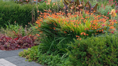 Crocosmia, coloridas espigas de flores en verano y otoño