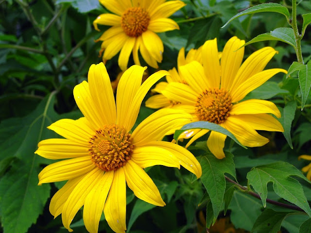 Northwest Vietnam attracts visitors by the beauty of wild sunflower or Tithonia diversifolia flowers 2