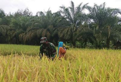 Ringankan Beban Masyarakat, Babinsa Koramil 10/Woyla Barat Bantu Petani Panen Padi Di Sawah