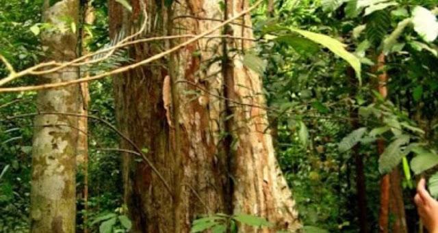 pohon keruing