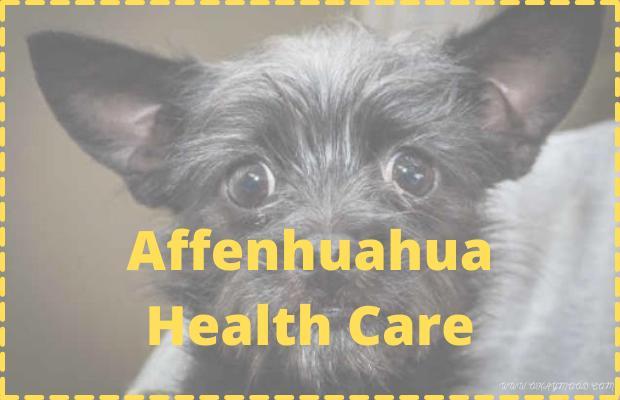 Affenhuahua Health Care