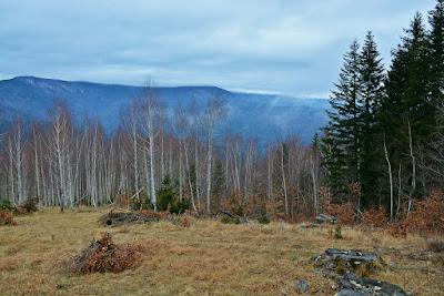 copaci defrisati