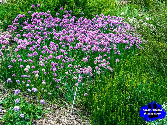 """Purple Pom Pom!"" (C) Allen Pearson Photography"