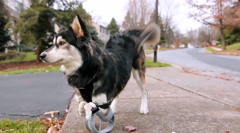 prótesis para perro hecha con impresora 3D