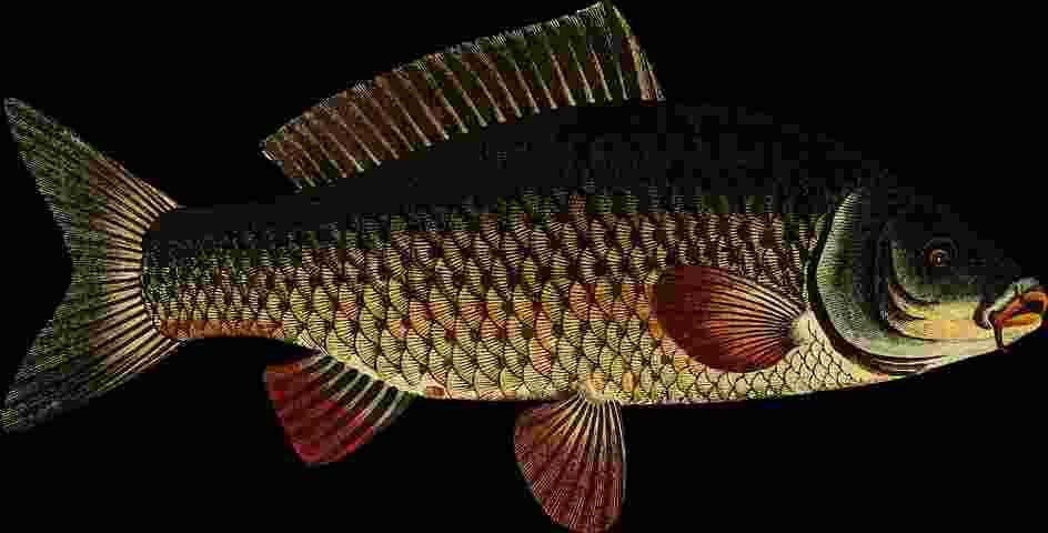10 Umpan Ikan Mas Jitu Berbagai Kondisi Beja Beja