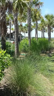 trees; sabal palmetto; swamp cabbage; Mt. Pleasant; South Carolina