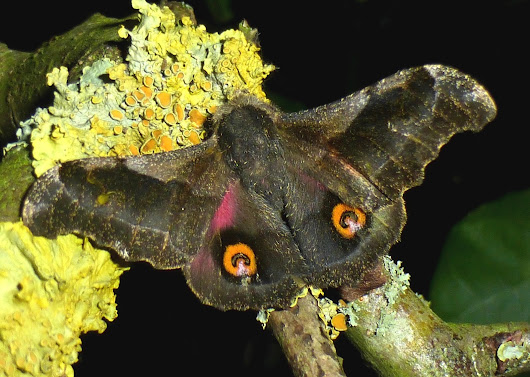 Silkmoth of the week: Ludia orinoptena