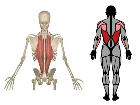 العضلات المستهدفة في تمرين deadlift