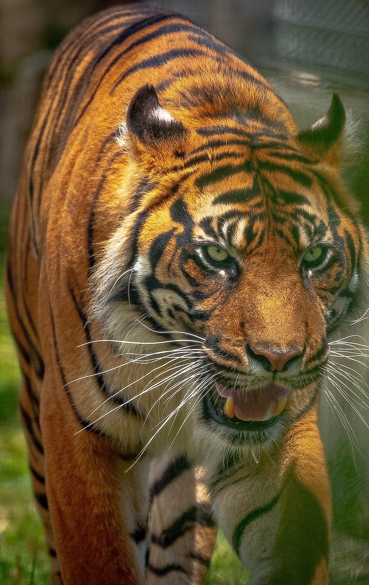 Majestic tiger.