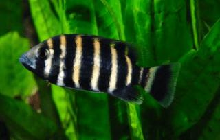 ikan hias zebra