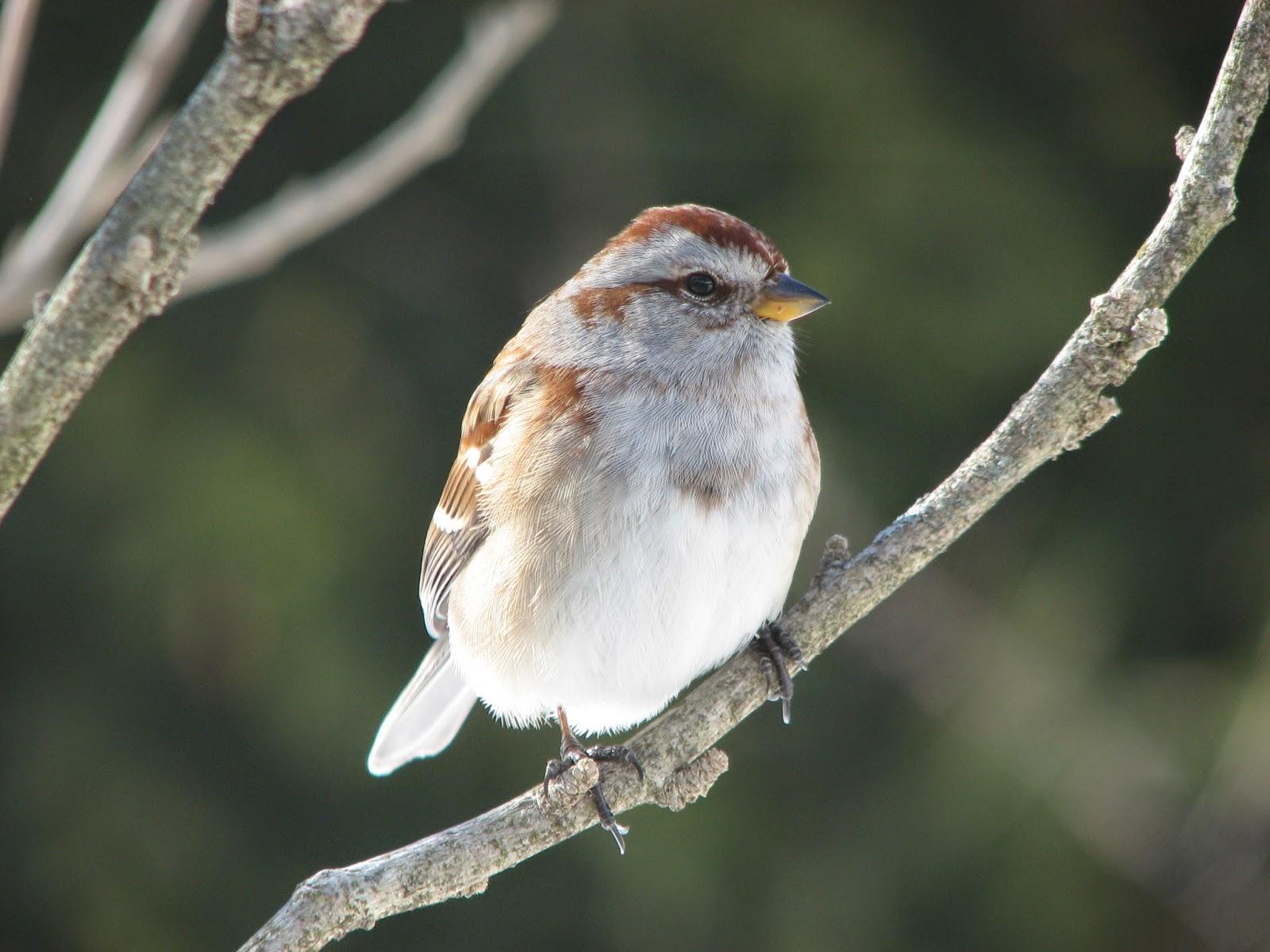 south burlington birds american tree sparrow photos south