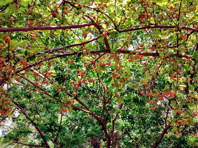 ripening red crab apples canopy