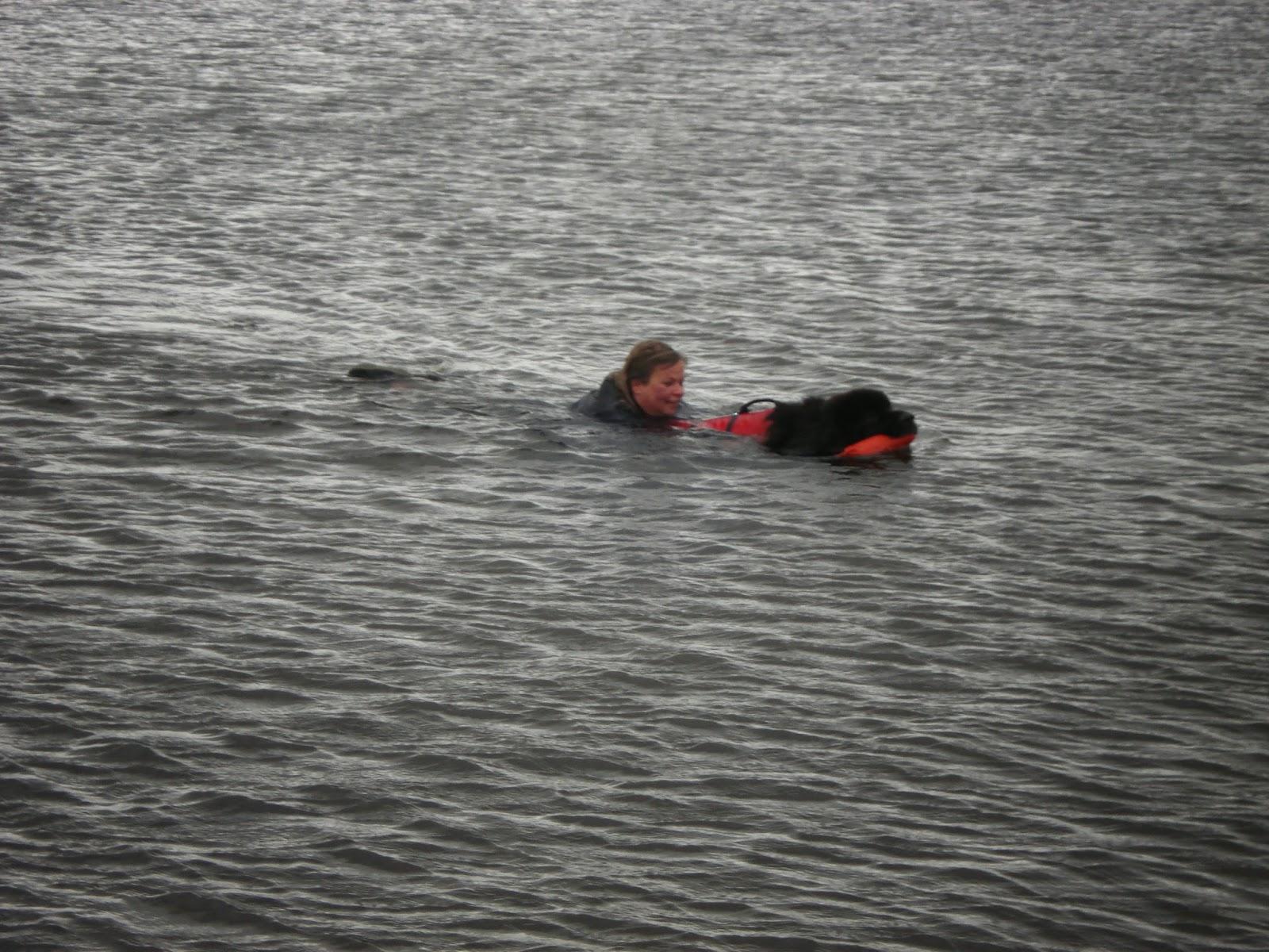 Hovawart aan het zwemmen.
