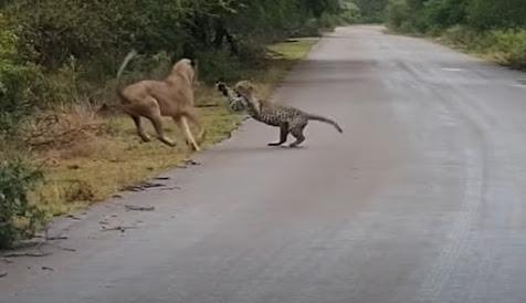 Singa sergap macan tutul di jalan