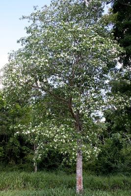 Sapirangú (Tabernaemontana catharinensis)