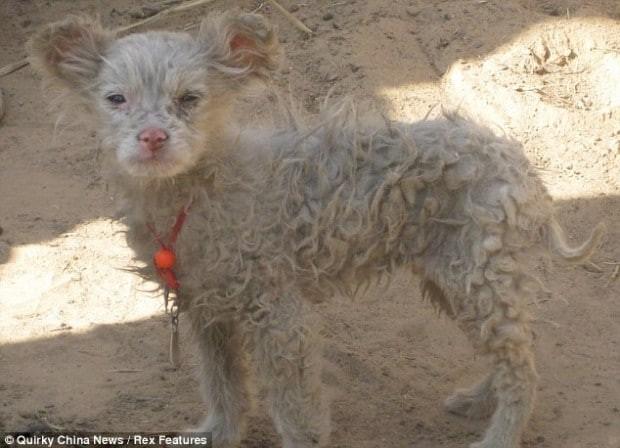 Το γύρο του διαδικτύου κάνει η φήμη ενός βοσκού από την Κίνα ο οποίος ισχυρίζεται πως ένα πρόβατο έφερε στον κόσμο ένα υγιέστατο… σκυλάκι!