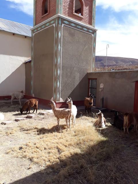 Meine Lamas fühlen sich im Missionsgelände sehr wohl. Sie bekommen auch jeden Morgen etwas Milch.