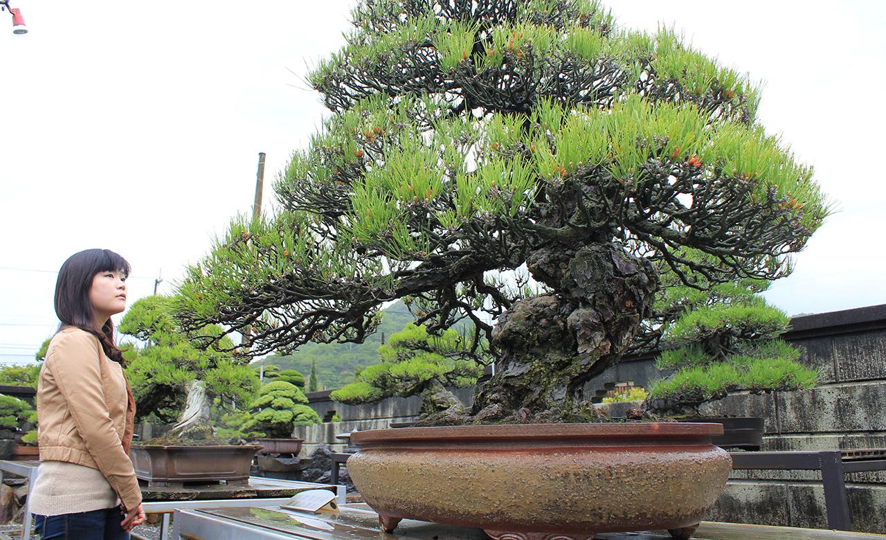Bonsai Berusia 200 Tahun