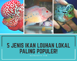 Jenis Ikan Louhan Lokal