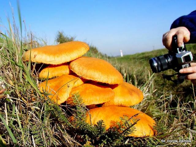 grzyby gatunkami, atlas grzybow, jaki to grzyb, luszczak wspanialy, bedlka wspaniala, grzyby niejadalne, grzybek