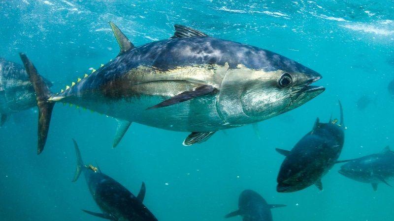 Gambar Jenis Ikan Tuna-Ikan Tuna Sirip Biru Selatan (Thunnus maccoyii)