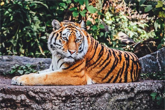 Życie jest jazdą na tygrysie