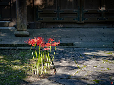 Higan-bana (Lycoris radiata) flowers: Eisho-ji