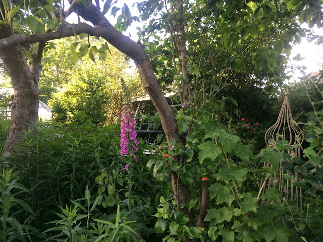 Foxgloves and goldenrod in the garden