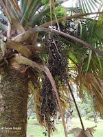 Palm tree fruit - Ho'omaluhia Botanical Garden, Kaneohe, HI