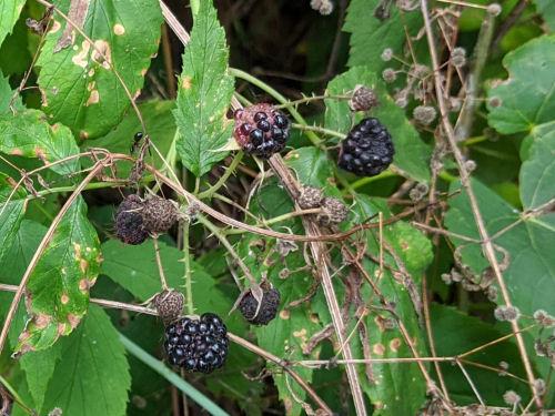 black raspberries.