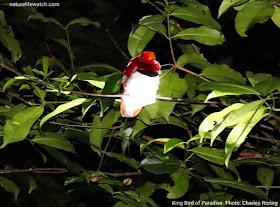 Burung Cendrawasih Raja di hutan Susnguakti, Papua Barat