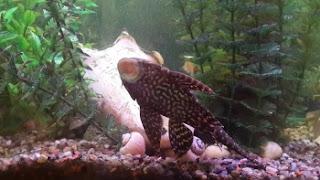Algae Eater Fish