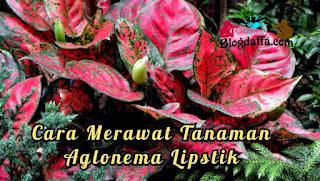 Cara Merawat Tanaman Bunga Aglonema