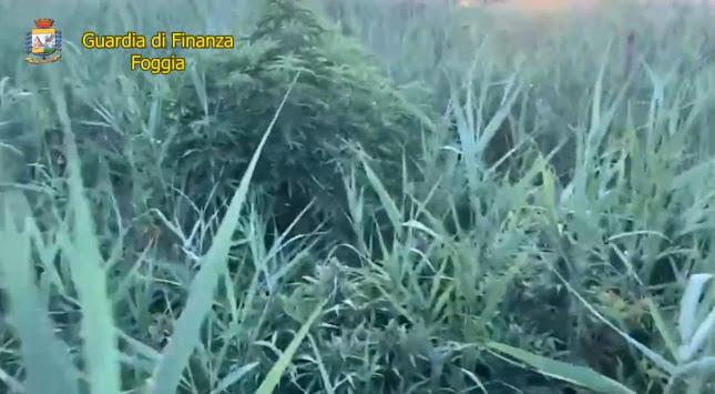 Nelle campagne di Lesina (Fg) scoperta una piantagione di cannabis