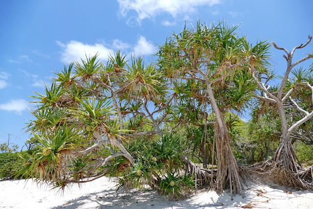 Heron Island Strand Pandanus Schraubenbaum Vegetation Traumstrand Pandanaceae