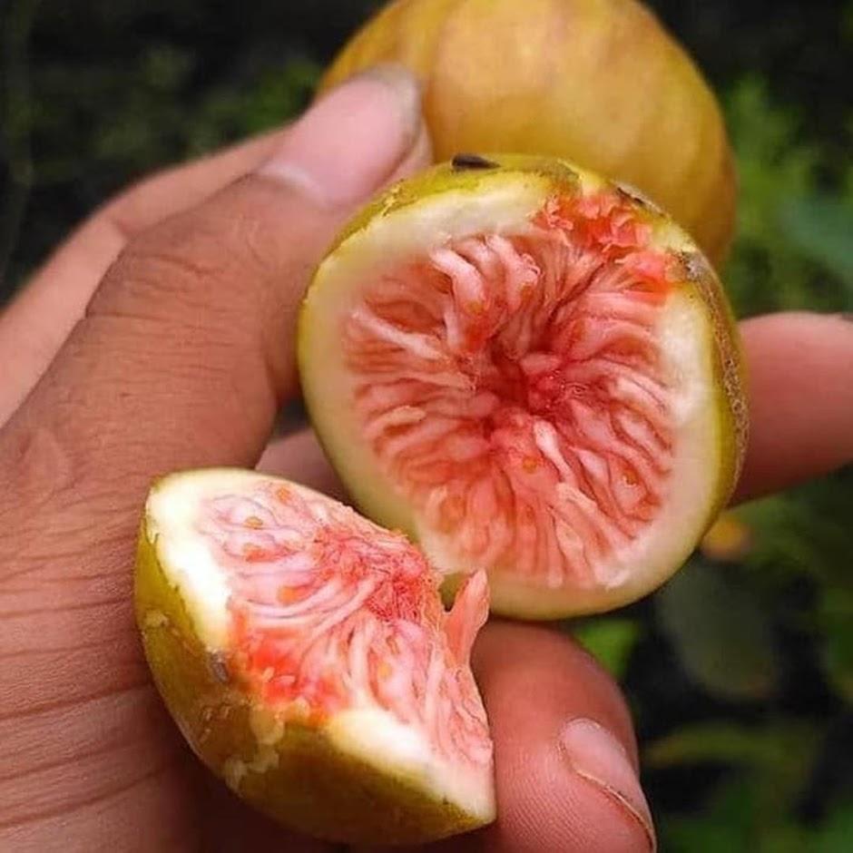 Bibit tanaman buah buah tin purple yordan cangkok Maluku