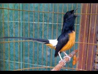 Gambar Burung Murai Batu Harga Ratusan Juta Jawara Kontes Burung Kicau 2016