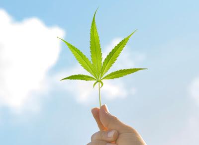 Image of a marijuana leaf held up to the sky