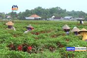 Petani Bunga Pacar Air Banjir Pesanan Untuk Tradisi Nyekar