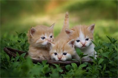 chatons triplés
