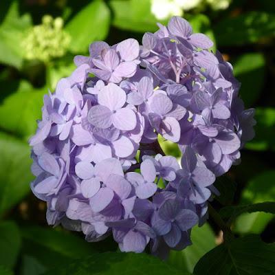 山田池公園のあじさい園 淡い紫色のあじさい