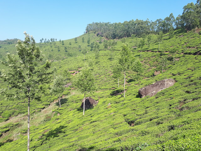 Champs de thé à Munnar