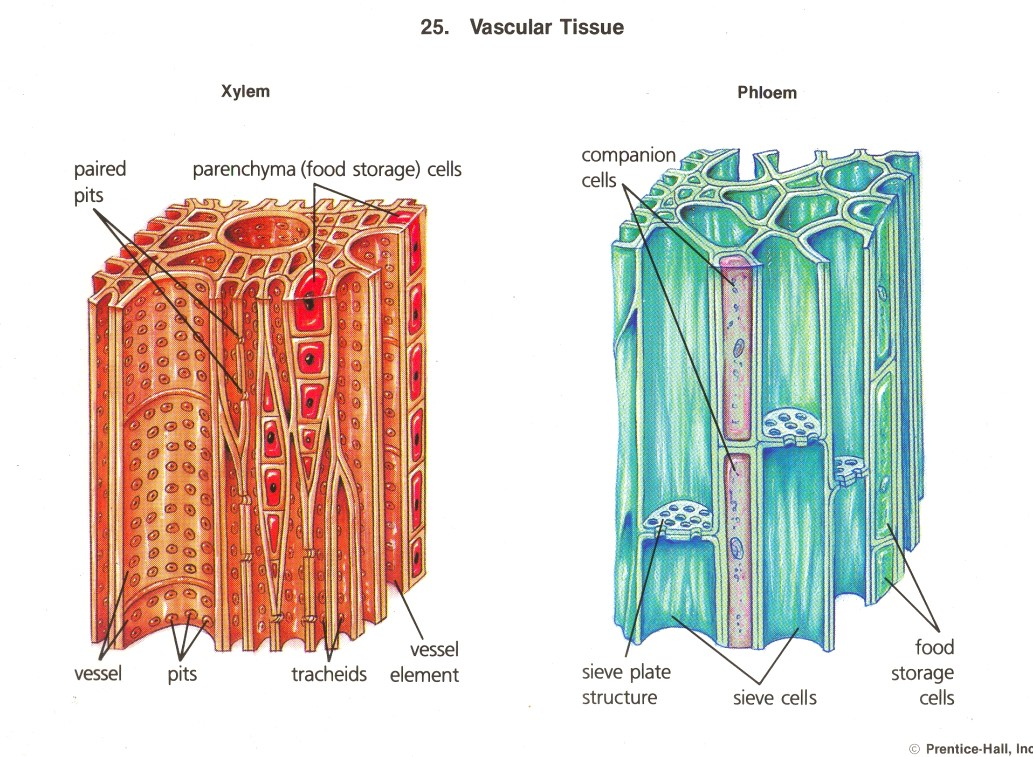 Vascular Tissue Xylem And Phloem Xylem transports water and