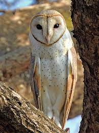 Sapne Mein Ullu (Owl) Dekhna