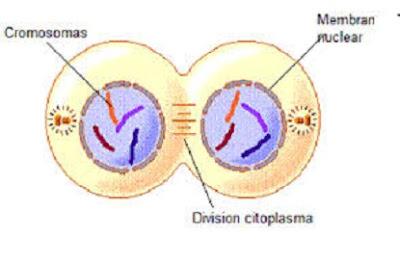 Tahap telofase mitosis - berbagaireviews.com