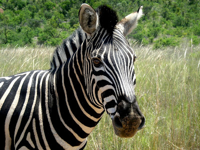 Zebra, Africa, South Africa, Kruger National Park, wildlife