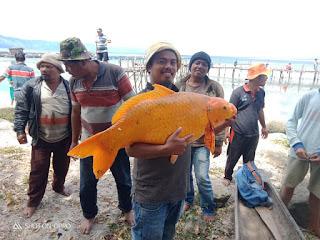Ikan Mas Seberat 15 Kg di Danau Toba Tertangkap, Warga Resah Akan Ada Musibah