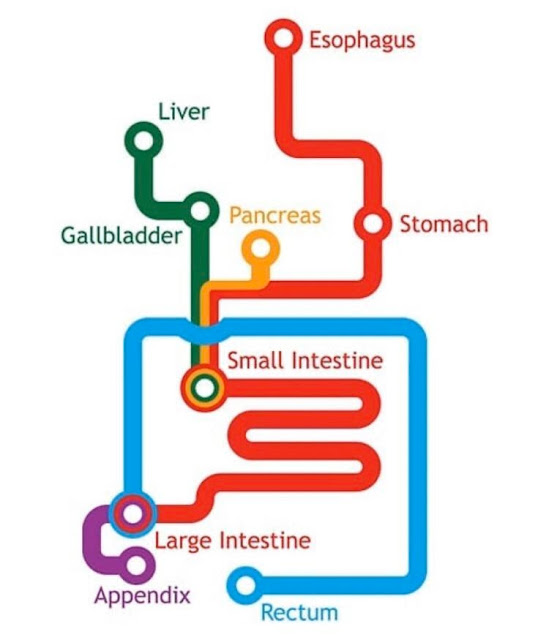 Gastrointestinal system as a subway map