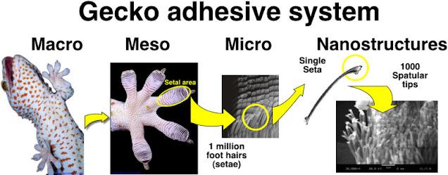 secret behind geckos stickiness